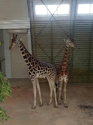 День жирафа