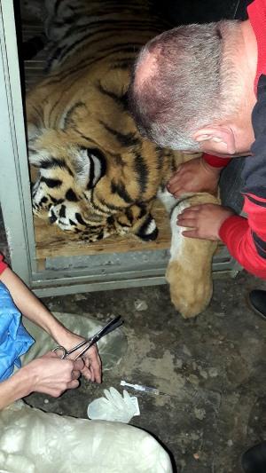 тигра3