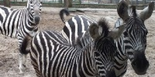 International Zebra Day